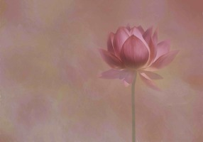 Picture of Pink Water Lily Against Pink Ethereal Background