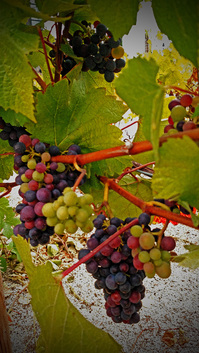 Picture of Vineyard Grapes