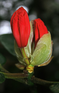 Picture of Budding Flower