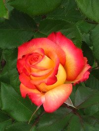 Picture of Rose Blossom